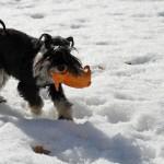 Moa hämtar leksaken som vi slängt ut i snön