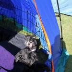 Moa och de andra hundarna flämtar i sommarvärmen