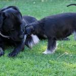 Visst ser det sött ut med en stor labrador och en liten Moa
