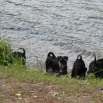 Alla vovarna nere vid sjön