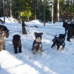 Enda sättet att få alla hundar på en bild är att binda dom vid en stolpe