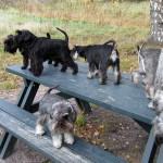 Nästan alla hundar är nu uppe på bordet